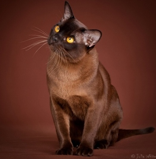 European and American Burmese  «Let`s make it clear!» - Burmese Cats